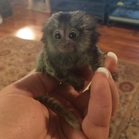 Cute babies marmoset monkeys