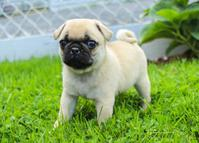 *Cute charming)) AND **TRAINED MALE **AND FEMALE** Pug puppies …