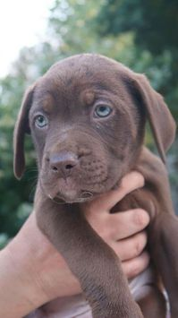 French Mastiff and Presa Canario Rottweiler Puppies for Sale (READY TO LEAVE)