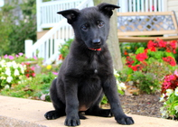German Shepherd Puppies ready for home