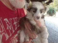 KC Chinese Crested pups- Ready now!. Puff male and female,