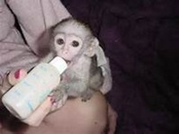 Lovely Angelic Baby Capuchin and finger Monkey for your valitine(lover)(430) 808-2841