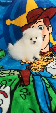 ~~Pretty* Pomeranian Puppies For Your Homes