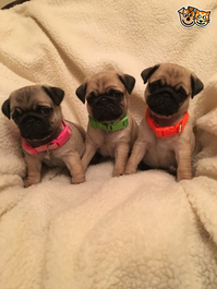 Pug Puppies looking for new home