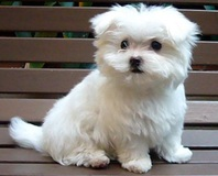 •••••• Sweet Charming Maltese Puppies •••••