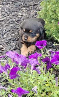 well socialized Rottweiler Pups