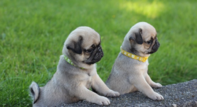 2 Female Tan And Cream Carrier Kc Pug Babies