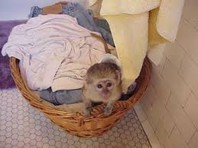 2 Healthy Capuchin Monkey for rehoming now