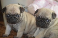 2 Healthy Pug puppies for rehoming now