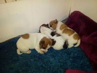 3 Beautiful Jack Russell Puppies for sale