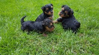 3 Gorgeous Teacup Yorkshire Terrier puppies