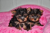 AFFECTIONATE HOME TRAINED YORKIE PUPPIES