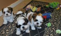 Adorable Health Shih Tzu puppies Reay
