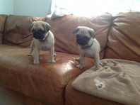 Adorable Pug puppies available
