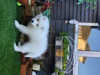 Adorable Snow White Pomeranian Puppies Ready Now ( WhatsApp 07862546249)