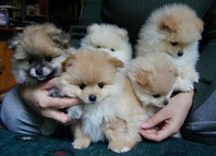 Adorable Toy Pomeranian Puppies