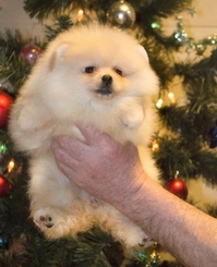 Adorable white cream miniature Pomeranian boy