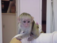 Affectionate Capuchin Monkey Parrots For Sale