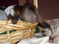 Affectionate Female Baby Capuchin/marmoset Monkey For your  valitine(lover) Gift (430) 808-2841