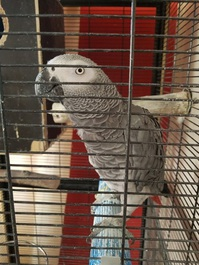 African Grey Parrots for Adoption