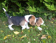 Akc Registered Beagles for adoption
