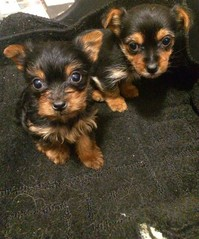 Akc reg Adorable Yorkie Puppies