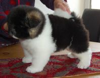 American Akita Puppies For Adoption