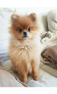 An offer only to pet loving homes {Pomeranian Angel}
