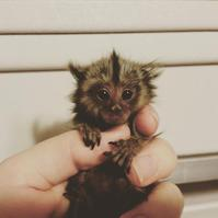 Baby Marmoset Male and Female Ready now,