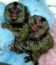 Baby Marmoset Monkeys for sale now
