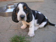 Basset Hound puppies full blooded,registered kc beautiful blood line!