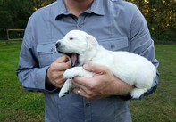 Beautiful AKC Multi-Champion Pedigree White Male