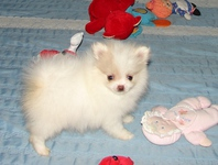 Beautiful Girl and Boy pupps Pomeranian Left