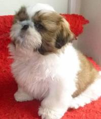 Beautiful Imperial Shih Tzu Puppies