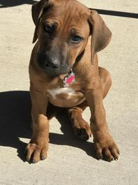 Beautiful KC Rodesian Ridgeback puppies ready