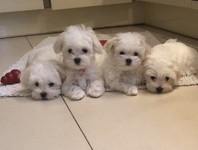 Beautiful KC registered maltese puppies