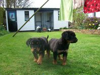 Excellent twin Rottweiler Puppies