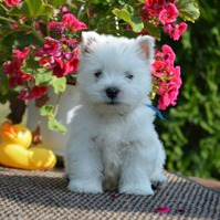 Beautiful West Highland Terriers