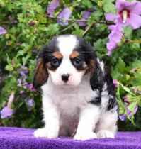 Beautiful and Lovable Cavalier King Charles Spaniel Pup
