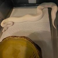 Beautiful female blue eyed lucy python