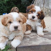 Belove Havanese puppies for good homes