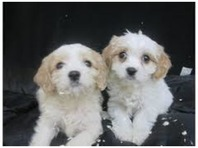 Bichon X Cavalier Spaniel puppies , ready today 8 weeks old