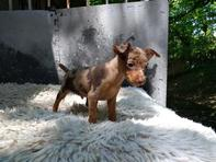 Black & Tan Minature Pinscher Puppies