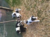 Border Collie Puppies available now