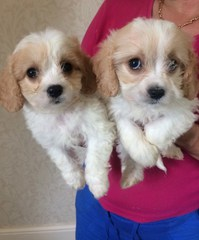 Cavachon Puppies - Ready Now