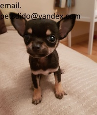 Chihuahua Puppies Ready Now. email. petsdido@yandex.com