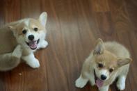 Corgi Pembroke Puppies.+447440524997