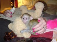 Cute Capuchin monkeys