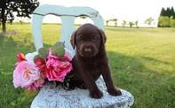 Cute Labrador retriever