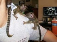 Cute babies  pygmy marmoset  monkeys for sale